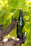 Champagne bottle on a vine. Branch Stock Images