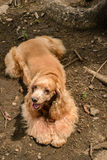 Champagne Cocker Spaniel Images stock