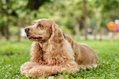 Champagne Cocker Spaniel. Resting on the ground Stock Photography