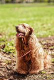 Champagne Cocker Spaniel. Sitting on the ground Stock Photo