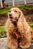 Champagne Cocker Spaniel. Sitting on a table Stock Photography