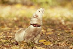 Champagne color ferret relaxing in autumn park. Ferret female posing and enjoying their walk and game in park royalty free stock photography