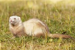 Champagne color ferret relaxing on summer meadow grass. Ferrets on summer meadow enjoying their game stock photography