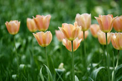 Champagne color tulips Royalty Free Stock Photos