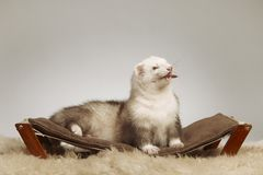 Male ferret of champagne color sitting on sofa stock photos