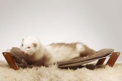 Male ferret of champagne color sitting on sofa royalty free stock images