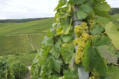 Champagne grapes #1, epernay Stock Image