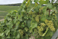 Champagne grapes #5, epernay Stock Image