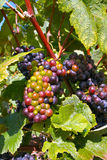 Champagne Grapes Stock Images
