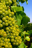 Champagne Grapes Royalty Free Stock Photography