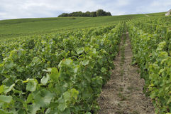 Champagne hilly vineyard #1, epernay Stock Images