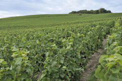 Champagne hilly vineyard #2, epernay Royalty Free Stock Photos