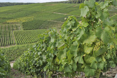 Champagne hilly vineyard #4, epernay Stock Photos