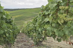 Champagne hilly vineyard #8, epernay Royalty Free Stock Photos