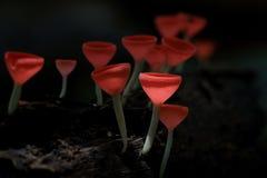 Champagne Mushroom Fotos de archivo