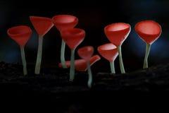 Champagne Mushroom Imágenes de archivo libres de regalías