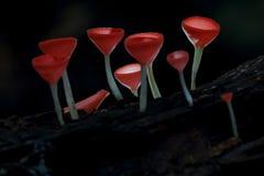 Champagne Mushroom Foto de archivo