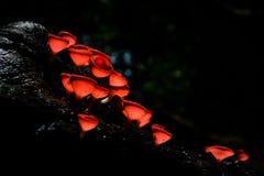 Champagne Mushroom Fotografia Stock