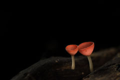Champagne Mushroom ,Fungi Cup as background.  Royalty Free Stock Photography