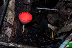 Champagne Mushroom, Tarzetta Rosea ( Rea) Dennis Stock Photo