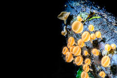 Champagne Mushroom, Tarzetta Rosea ( Rea) Dennis Stock Photos