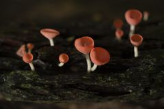 Champagne mushrooms have  beautiful red or orange cup shape in the rainforest,botanical environment fungus toadstool growing,. Champagne mushrooms have a royalty free stock images