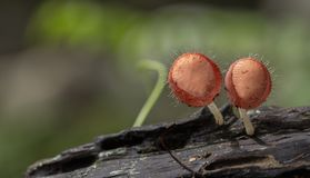 Champagne mushrooms have  beautiful red or orange cup shape in the rainforest,botanical environment fungus toadstool growing,. Champagne mushrooms have a royalty free stock photo