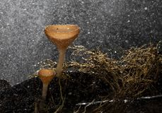 Champagne mushrooms have  beautiful red or orange cup shape in the rainforest,botanical environment fungus toadstool growing,. Champagne mushrooms have a stock image