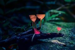 Champagne Mushrooms na floresta fotos de stock