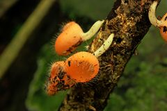 Champagne-Pilze oder Pelzpilzschalen Pilz-Schale ist wissenschaftlicher Name von Cookeina-Tricholoma lizenzfreie stockfotos