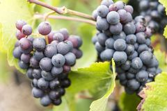 Champagne Pinot Noir Grapes France photographie stock libre de droits