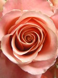 Champagne rose. Photograph of a perfect champagne colored rose Royalty Free Stock Photography
