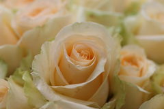 Champagne Rose im Garten Stockfotografie
