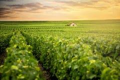 Champagne Vineyards at sunset, Montagne de Reims, France stock image