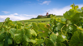 Champagne vineyard. With a mill in the background Royalty Free Stock Photography