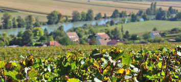 Champagne vineyards Royalty Free Stock Image