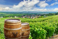 Champagne vineyards with old wooden barrel on row vine green grape in champagne vineyards background at montagne de reims. France royalty free stock images