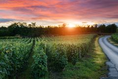 Champagne Vineyards at sunset Montagne de Reims. France royalty free stock photos