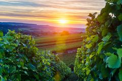 Champagne Vineyards at sunset, Montagne de Reims. France Royalty Free Stock Photos