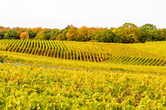 Champagne wine fields during autumn Royalty Free Stock Images