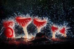 Champagnechampinjoner kan finnas i skogar som är fullständigt naturliga Är a champinjon-som koppen som formas med rött hår med be arkivbild