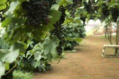 Champagnedruvor harvest05 Arkivfoton