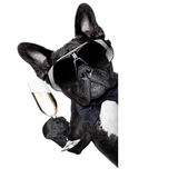 Champagnehund Fotografering för Bildbyråer