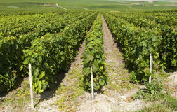 Champaign vineyards. On the sunny hills close to Cramant (Marne stock photography