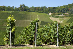 Champaign vineyards. On the hills close to Hautvillers (Marne stock image