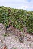 champaign winnicy Fotografia Stock