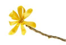 Champak-Blume ` Magnolie champaca ` - wohlriechende gelbe Blume, die auf der Niederlassung lokalisiert auf weißem Hintergrund, mi lizenzfreie stockfotos