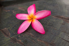 Champaka& alaranjado x27; flor Fotografia de Stock Royalty Free