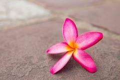 Champaka& alaranjado x27; flor Fotografia de Stock