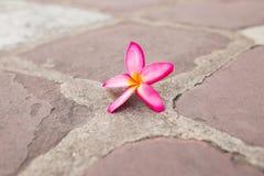 Champaka& alaranjado x27; flor Foto de Stock